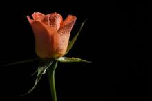 Close Up Photo Of Orange Rose On Black Background