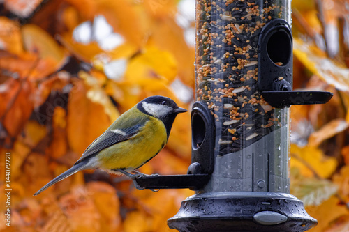 Fotografie, Tablou Great tit feeding on a bird feeder in autumn
