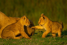 Two Cubs Play On Grass Beside Lioness