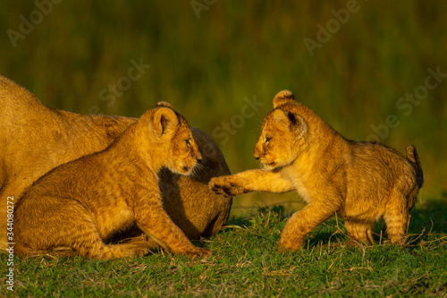 Valokuva Two cubs play on grass beside lioness