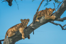 Two Lion Cubs Look Down From Branch