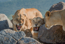 Two Lionesses Growl At Another...