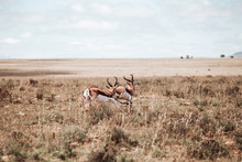 Springbuck Chasing Each Other