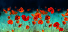 Blooming Red Poppies In Field ...