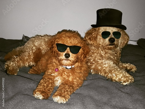 Dogs Wearing Sunglasses While Relaxing At Home Slika na platnu