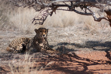Portrait Of Cheetah Relaxing In Forest