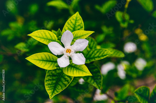 Photo Jasmine is an ornamental flower plant in the form of upright trunked shrubs tha