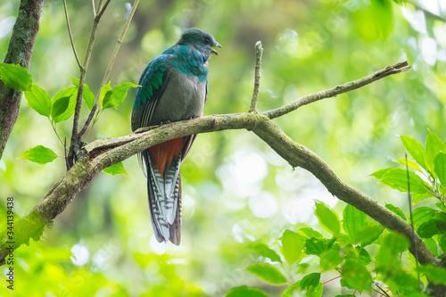 Fotografía Female of resplendent quetzal