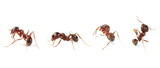Set european ant isolated on white background, Manica rubida