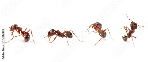 Set european ant isolated on white background, Manica rubida Canvas Print