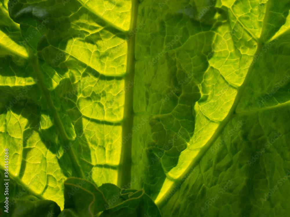 Fototapeta Liść rabarbaru - zieleń