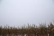 ein mais feld nach der ernte in Norddeutschland bedeckt mit schnee