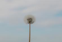 White Dandelion On A Backgroun...