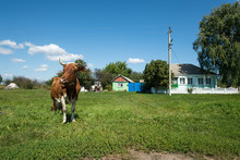 Cow Browses Near The Rustic Home On The Chain