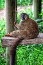 Portrait Of Lemur Relaxing On Wood
