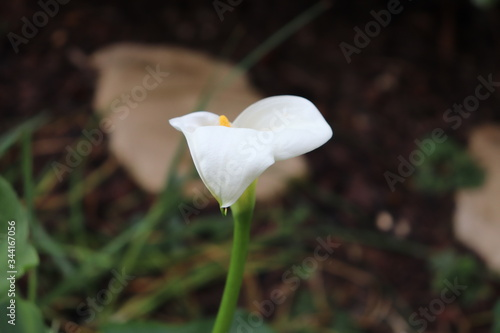 Photo Fleur blanche d'Arum au printemps - Famille des Araceae - Ville de Corbas - Dépa