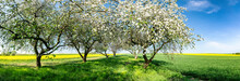 Beautiful Spring Panorama With Blossoming Orchard And Rape Field