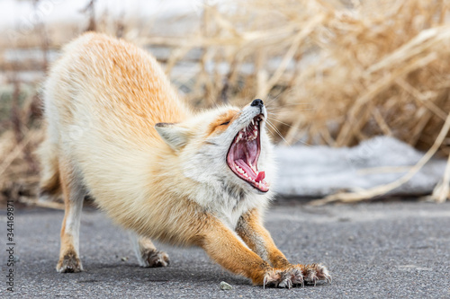 Red fox in snow atmosphere, Hokkaido Canvas Print