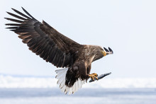 White Tailed Eagle In Winter A...