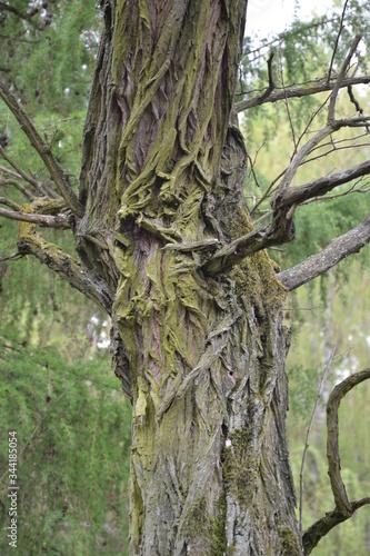 Obraz drzew, bory, charakter, zieleń, bagażnik, drewna, park, stary, kora, drewna, liści, roślin, krajobraz, galąz, lato, jary, duzy, drzew, feuille, außenaufnahme, dąb, mech, feuille, okolica, naturalny - fototapety do salonu