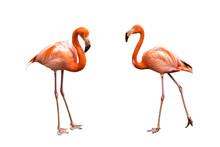 Flamingos Isolated On White Ba...