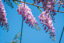 Lilac Wisteria Flowers In The ...