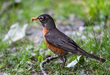 American Robin Foraging For Food In The Grass
