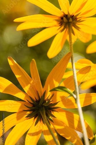 Looking into the underneath side of cup plant flowers as they absorb the morning Canvas Print