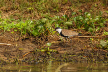 The Spur-winged Lapwing Or Spur-winged Plover (Vanellus Spinosus) Is A Lapwing Species, One Of A Group Of Largish Waders In The Family Charadriidae, Murchison Falls National Park, Uganda.