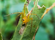 Yellow Color Spider Siting On The Green Leaves And Green Background.