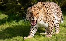 Close-up Of Leopard Growling