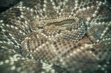 Close-up Of A Coiled Eastern D...