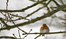 Portrait Of A Red-throated Bird Resting On A Snowy Branch In Its Natural Habitat. Photo Taken In France At The Pond Of The Tower At Vieille église In Yvelines.