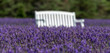 White bench sits in a lavender field
