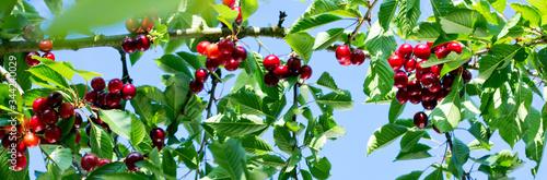 Cherries hanging on a cherry tree branch. Fototapete