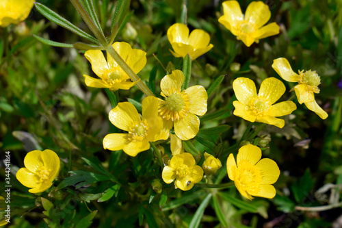 Buttercup is caustic (Ranúnculus ácris) - a perennial herbaceous plant with fibrous roots and a direct branched stem Wallpaper Mural