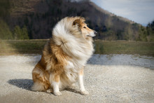 Brown And White Rough Collie Dog