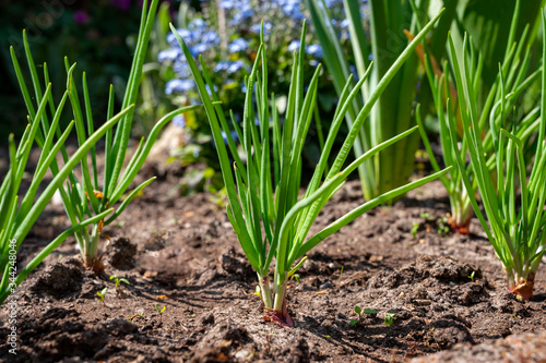 Young shallot onion plants growing in spring garden Wallpaper Mural