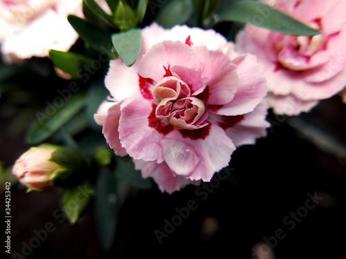 Photo macro di piccolo garofano rosa fiorito nel giardino