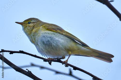 Fotografía Bird - Willow Warbler ( Phylloscopus trochilus ) sitting on a branch of a bush cloudy spring evening