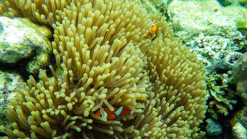 clown fish in anemone on coral reef Wallpaper Mural
