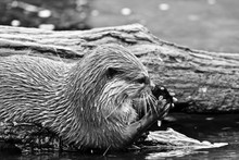 Close Up Of Otter Eating