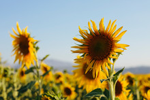 Sunflowers Blooming On A Summe...