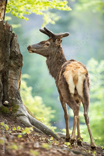 Photo Male red deer, cervus elaphus, stag in old forest from back view looking aside