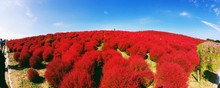 Panoramic View Of Red Plants Growing On Field At Hitachi Seaside Park