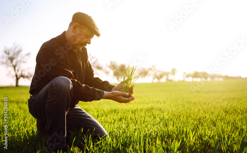 Photo Young wheat sprout in the hands of a farmer