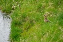 Wild Ducks On A Creek