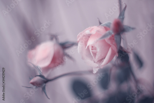Fototapeta Zimowe róże obraz