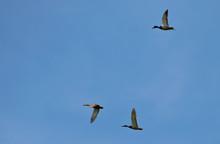 Wild Ducks Flying On A Blue Sky