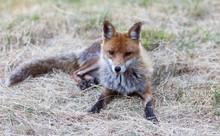 Portrait Of Fox Resting On Straw Field